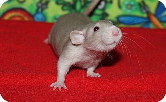 Rat for adoption in Austin, Texas - Mr. Peanut