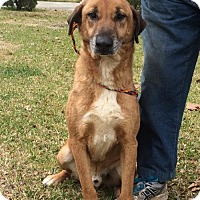 German Shepherd Dog/Catahoula Leopard Dog Mix Dog for adoption in Slidell, Louisiana - Dean