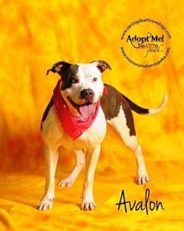Pit Bull Terrier Mix Dog for adoption in Topeka, Kansas - Avalon