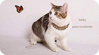 Domestic Shorthair Cat for adoption in Corona, California - SABBY