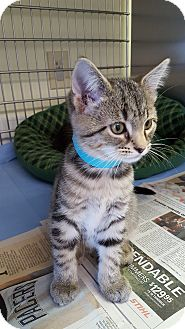 Domestic Shorthair Kitten for adoption in Danville, Indiana - Piggy