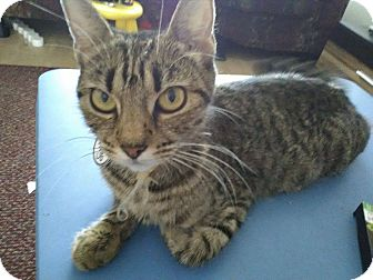 Bengal Cat for adoption in Ludowici, Georgia - Virgo