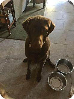 Labrador Retriever Dog for adoption in Phoenix, Arizona - Jack
