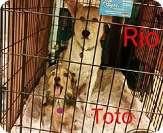Shepherd (Unknown Type)/Labrador Retriever Mix Dog for adoption in Crocker, Missouri - Roo Roo