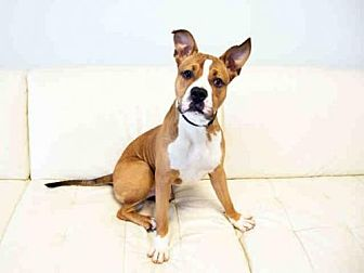 Boxer Mix Dog for adoption in Hampton Bays, New York - WRIGLEY