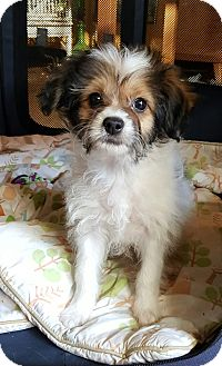 Shih Tzu/Poodle (Miniature) Mix Puppy for adoption in Los Angeles, California - Wally
