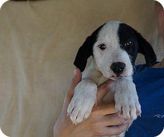 Border Collie/Labrador Retriever Mix Puppy for adoption in Oviedo, Florida - Sapphire