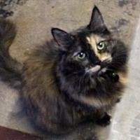 Domestic Longhair Cat for adoption in Pasadena, California - Cindy