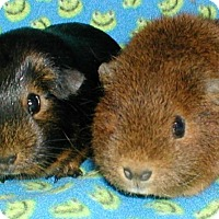 Adopt A Pet :: Brillo - Steger, IL
