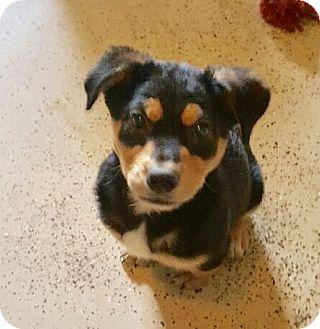 Shepherd (Unknown Type)/Labrador Retriever Mix Puppy for adoption in Glastonbury, Connecticut - Maggie