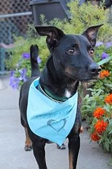 Dachshund/Miniature Pinscher Mix Dog for adoption in Yukon, Oklahoma - Perry