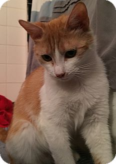 Domestic Shorthair Cat for adoption in Wayne, New Jersey - Hope