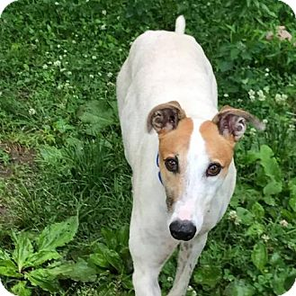 Greyhound Dog for adoption in Independence, Missouri - Mack