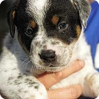 Adopt A Pet :: Clark Kent! - New York, NY