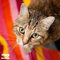 Adopt A Pet :: Gracee - South Burlington, VT
