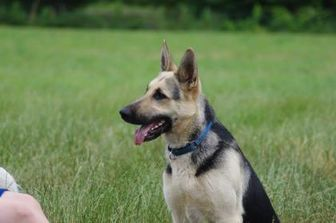 German Shepherd Dog Mix Dog for adoption in CHESTERTOWN, Maryland - Miley