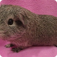 Adopt A Pet :: Ducky - Highland, IN