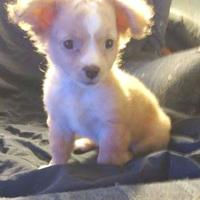 Adopt A Pet :: Jennie($400) - Redding, CA