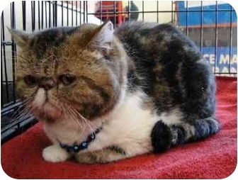 Persian Cat for adoption in Beverly Hills, California - Irene