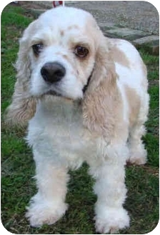 Cocker Spaniel Dog for adoption in Sugarland, Texas - Becca