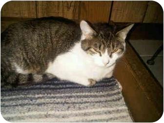 Domestic Shorthair Cat for adoption in Medford, Massachusetts - Salty