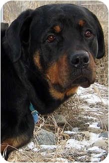 Rottweiler Mix Dog for adoption in Republic, Washington - Lady
