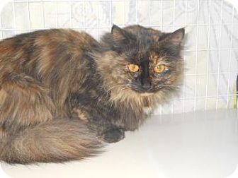 Domestic Mediumhair Cat for adoption in Edwardsville, Illinois - Skylar