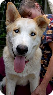 Husky Mix Dog for adoption in Windham, New Hampshire - Milo