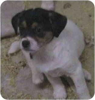 Beagle/Border Collie Mix Puppy for adoption in Buffalo, New York - Crystal