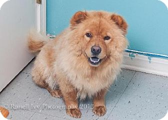 Chow Chow Dog for adoption in Covington, Louisiana - Leah