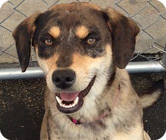 Labrador Retriever/Australian Shepherd Mix Dog for adoption in Allentown, Pennsylvania - Pippa