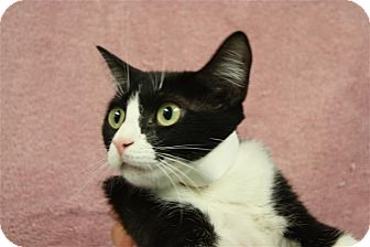 Domestic Shorthair Cat for adoption in Conway, Arkansas - Phyllis