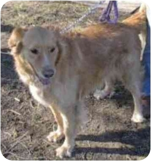 Golden Retriever Mix Dog for adoption in Oxford, Michigan - Shadow