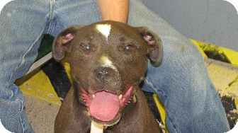 Pit Bull Terrier Mix Dog for adoption in Tyner, North Carolina - Bogie