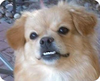 Pomeranian/Pekingese Mix Puppy for adoption in Las Vegas, Nevada - Gigi