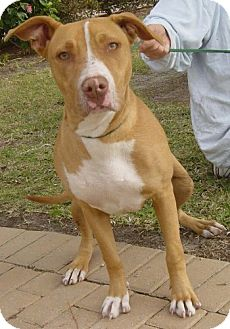 Pit Bull Terrier Mix Dog for adoption in Port St. Joe, Florida - Aubry