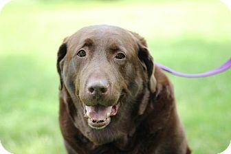 Labrador Retriever Dog for adoption in Midland, Michigan - Toby *foster care*