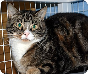 Domestic Shorthair Cat for adoption in Hayden, Idaho - Pinkie