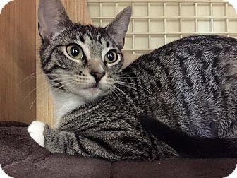 American Shorthair Kitten for adoption in Groton, Connecticut - Venus