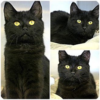 Domestic Shorthair Kitten for adoption in Forked River, New Jersey - Constance