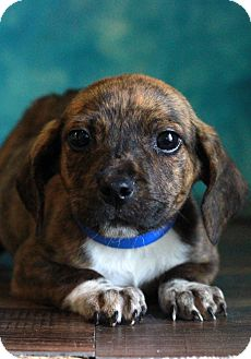 Beagle Mix Puppy for adoption in Waldorf, Maryland - Peter