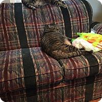 Domestic Shorthair Cat for adoption in Warren, Michigan - Mischief & Mayhem $75 Senior