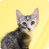 Adopt A Pet :: Jewel - Fountain Hills, AZ