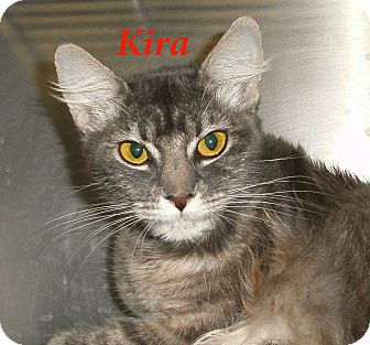 Domestic Mediumhair Cat for adoption in El Cajon, California - Kira