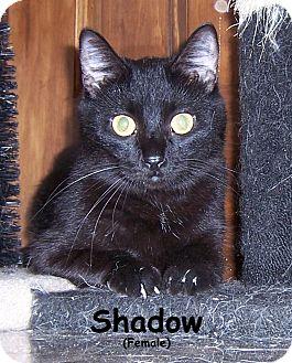 Domestic Shorthair Cat for adoption in Oklahoma City, Oklahoma - Shadow