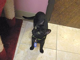 Domestic Mediumhair Kitten for adoption in The Colony, Texas - Gepetto