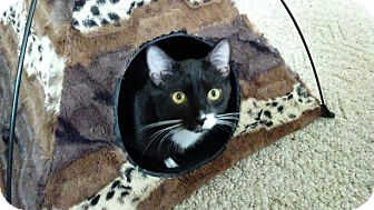Domestic Shorthair Kitten for adoption in Columbus, Ohio - Marco