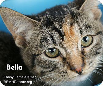 Domestic Shorthair Kitten for adoption in Temecula, California - Bella