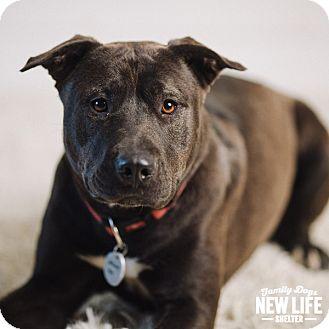 Labrador Retriever/Shar Pei Mix Dog for adoption in Portland, Oregon - Aki