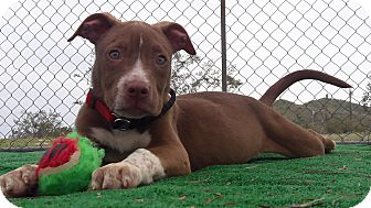 Pit Bull Terrier Mix Puppy for adoption in Buckeye, Arizona - Zeus